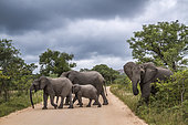 Small group of African bush elephant (Loxodonta africana) crossing safari gravel road in Kruger National park, South Africa