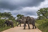Eéléphants d'Afrique (Loxodonta africana) petit groupe traversant une route de gravier, Kruger, Afrique du Sud