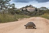 Leopard tortoise (Stigmochelys pardalis) crossing safari gravel road in Kruger National park, South Africa