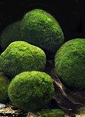 Moss balls (Aegagropila linnaei = Cladophora aegagropila)