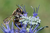 Potter bee (Anthidium septemspinosum) male on Notchleaf flower, solitary bee, Pays de Loire, France
