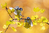 Blue tit (Cyanistes caeruleus) perched on a branch and fighting, England