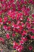 Rhododendron obtusum Fridoline