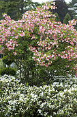 Rhododendron Corneille
