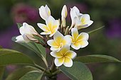 Frangipani (Plumeria alba), blossom, Praslin, Seychelles, Africa