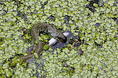 Grass snake (Natrix natrix) eating a fish in a pool of Kerdanet in Plouagat, Brittany, France