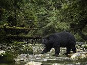 Ours noir d'Amérique (Ursus americanus) traversant une rivière, Colombie Britannique, Canada
