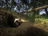A Badger (Meles meles) emerges from the sett and yawns in the Peak District National Park, UK.