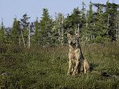 Loup de Colombie (Canis lupus columbianus) observant, Colombie Britannique, Canada