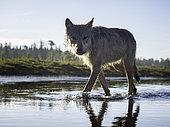 Loup de Colombie (Canis lupus columbianus) marchant dans l'eau, Colombie Britannique, Canada