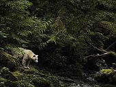 A Spirit Bear (Ursus americanus kermodei) emerges from the rainforest in British Columbia, Canada.