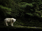 A Spirit Bear emerges from the rainforest in British Columbia, Canada.