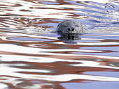 A Harbour Seal (Phoca vitulina) swims through the sea off the coast of British Columbia, Canada.