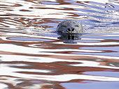 Phoque veau marin (Phoca vitulina) traversant la mer au large des côtes de Colombie-Britannique, Canada.