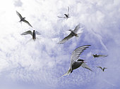 Several Arctic Terns (Sterna paradisaea) circle overhead off the coast of Northumberland, UK.