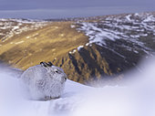 A Mountain Hare (Lepus timidus) rests at sunset in the Cairngorms National Park, Scotland.
