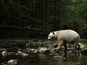 A Spirit Bear (Ursus americanus kermodei) crosses the river in the rainforests of British Columbia, Canada.