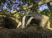 A Badger (Meles meles) emerges from the sett in the Peak District National Park, UK.
