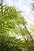 Ferns spores, Aiguebrun valley, Buoux, Luberon, Vaucluse, Provence, France