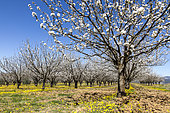 Cherry blossoms, Roussillon, Luberon, Vaucluse, Provence, France