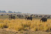 African Elephant (Loxodonta africana) herd along the Chobe River in the morning, Chobe NP, dry season, Northern Botswana