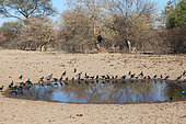 Meves's Starling (Lamprotornis mevesii) adults drinking at a pond, dry season, Northern Botswana