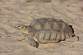 African spurred tortoises (Centrochelys sulcata) walking on sand in the sun, Senegal