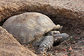African spurred tortoises (Centrochelys sulcata) at the entrance of its burrow in the sun, Senegal