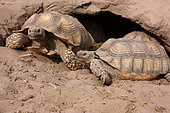 African spurred tortoises (Centrochelys sulcata) at the entrance of their burrow in the sun, Senegal