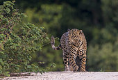 Jaguar (Panthera onca), hunting along the water of a rio, Pantanal area, Mato Grosso, Brazil
