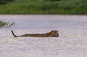 Jaguar (Panthera onca), hunting in the water of a rio, Pantanal area, Mato Grosso, Brazil