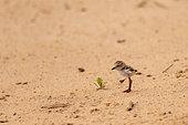 Collared plover (Charadrius collaris) chick, Pantanal area, Mato Grosso, Brazil