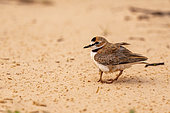 Collared plover (Charadrius collaris) adult protecting chicks, Pantanal area, Mato Grosso, Brazil