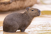 Capybara (Hydrochaeris hydrochaeris) the largest rodent in the world, Pantanal area, Mato Grosso, Brazil