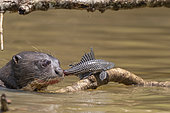 Giant Otter (Pteronura brasiliensis) eating a catfish, Pantanal area, Mato Grosso, Brazil