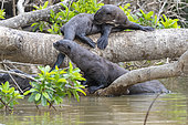 Giant Otter (Pteronura brasiliensis), resting on a branch, Pantanal area, Mato Grosso, Brazil