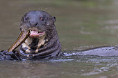 Giant Otter (Pteronura brasiliensis) eating a fish, Pantanal area, Mato Grosso, Brazil