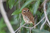 Ferruginous pygmy owl (Glaucidium brasilianum), adult, Pantanal area, Mato Grosso, Brazil