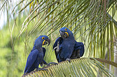 Hyacinth Macaw (Anodorhynchus hyacinthinus) adult, perched on a palm tree, Pantanal area, Mato Grosso, Brazil