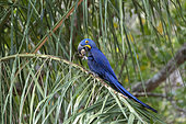 Hyacinth Macaw (Anodorhynchus hyacinthinus) adult, eating on a palm tree, Pantanal area, Mato Grosso, Brazil