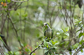Conure veuve (Myiopsitta monachus), adulte mangeant une mangue, Sud de Cuiaba, Pantanal, Mato Grosso, Brésil