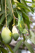 Yellow-chevroned parakeet (Brotogeris chiriri), adult eating one mango, Pantanal area, Mato Grosso, Brazil