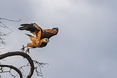 Black-collared Hawk (Busarellus nigricollis), in flight, Pantanal area, Mato Grosso, Brazil