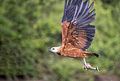 Black-collared Hawk (Busarellus nigricollis), in flight with a fish, Pantanal area, Mato Grosso, Brazil