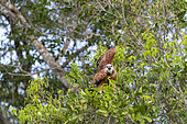 Black-collared Hawk (Busarellus nigricollis), on a branch, Pantanal area, Mato Grosso, Brazil