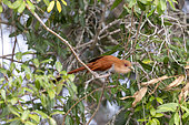 Squirrel cuckoo (Piaya cayana), Pantanal area, Mato Grosso, Brazil