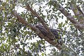 Brazilian porcupine (Coendou prehensilis), daytime rest in a tree, Pantanal area, Mato Grosso, Brazil