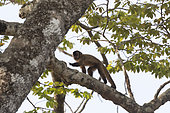 Black-striped capuchin (Sapajus libidinosus), also known as the bearded capuchin, in a tree, Pantanal area, Mato Grosso, Brazil
