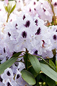 Rhododendron Calsap