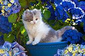 Calico kitten sitting in blue bowl by hydrangeas in garden